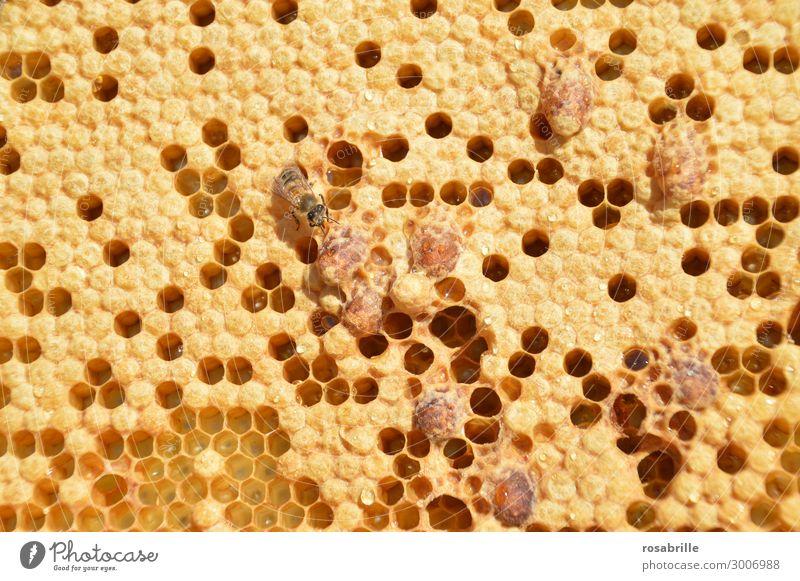 wertvoll| Schwarmstimmung im Bienenstock: Brutzellen verdeckelt und offen mit Eiern und Stiften darinnen und Königinnenzellen auf einer Wabe eines Volkes das in Schwarmstimmung ist oder eine Königin nachschaffen musste