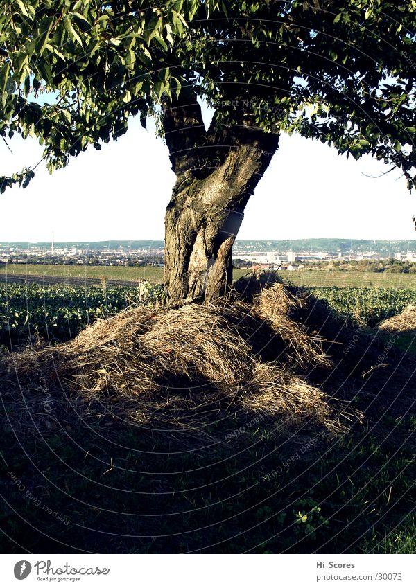 Heubaum Natur Baum Blatt Landschaft Feld Dresden Baumstamm Amerika