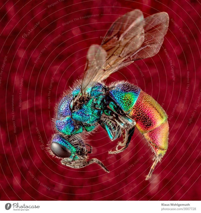 Colourful Umwelt Natur Tier Sommer Totes Tier Flügel Wespen Goldwespe Insekt Imago 1 exotisch blau mehrfarbig gelb gold grün violett orange rosa rot schwarz