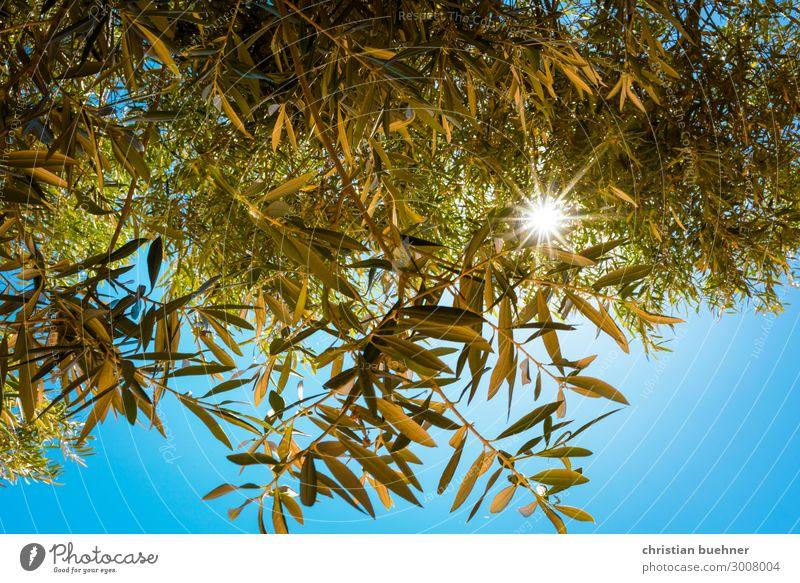 sonnenstrahlen scheinen durch olivenbaeume olivenbaum natur zweige lichtblick blauer himmel hoffnung schoenheit relaxed