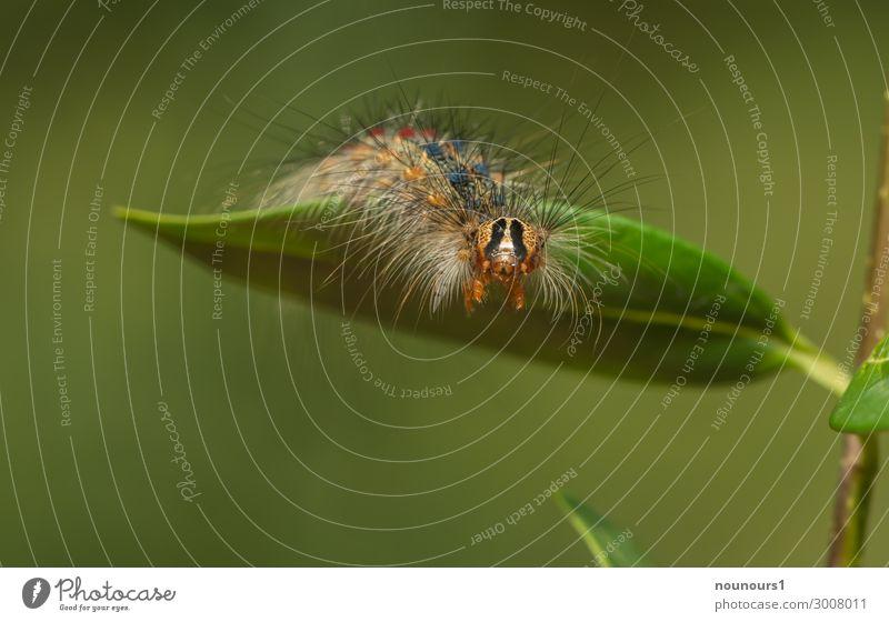 hello Tier Sonnenlicht Sommer Garten Wildtier Tiergesicht Raupe 1 krabbeln klein Neugier blau braun grün rot Schwammspinner haarig Schmetterling Schädlinge