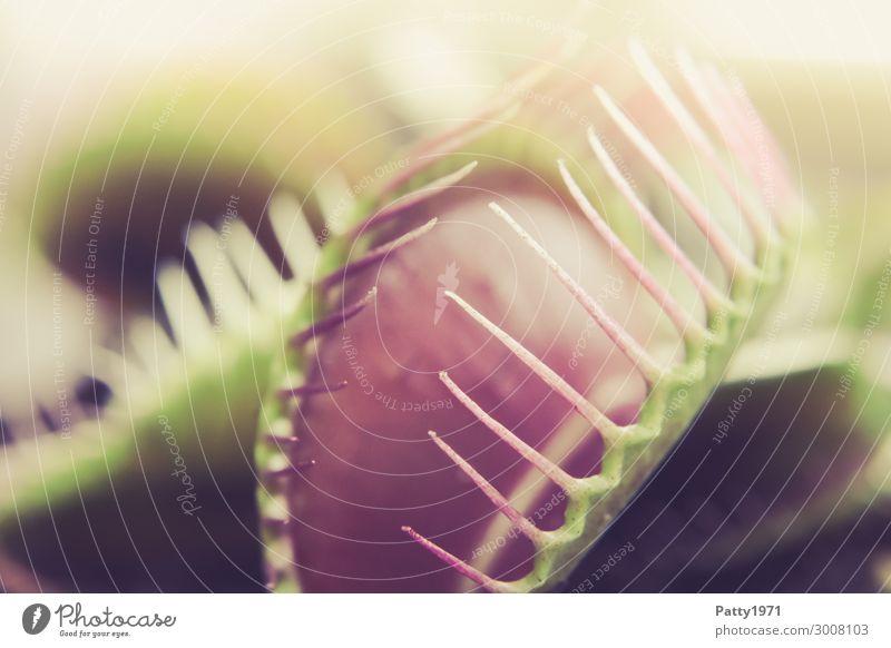 Venusfliegenfalle Pflanze Blatt exotisch grün rosa bedrohlich Farbfoto Gedeckte Farben Nahaufnahme Detailaufnahme Makroaufnahme Menschenleer Textfreiraum links