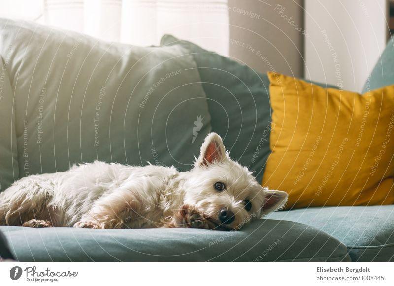 West Highland White Terrier Hund liegt gemütlich auf einem Sofa Haustier Erholung Tier genießen kuschlig schön Wärme Gefühle ruhig Frieden Zufriedenheit