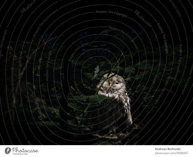 Kauz Natur Wald Tier Maus 1 warten Neugier Überleben Eulenvögel Waldtier Greifvogel Nachtjäger Feder Müdigkeit Tierporträt dunkel Farbfoto Außenaufnahme