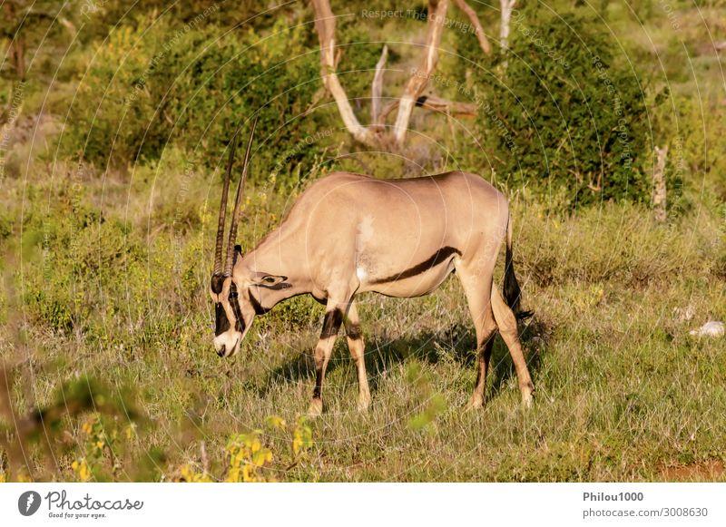 Einsamer Oryx auf der Weide in der Savanne Essen Gesicht Safari Umwelt Natur Tier Gras Fressen Afrika Kenia Samburu Afrikanisch Antilopen Beisa Buchse Erhaltung