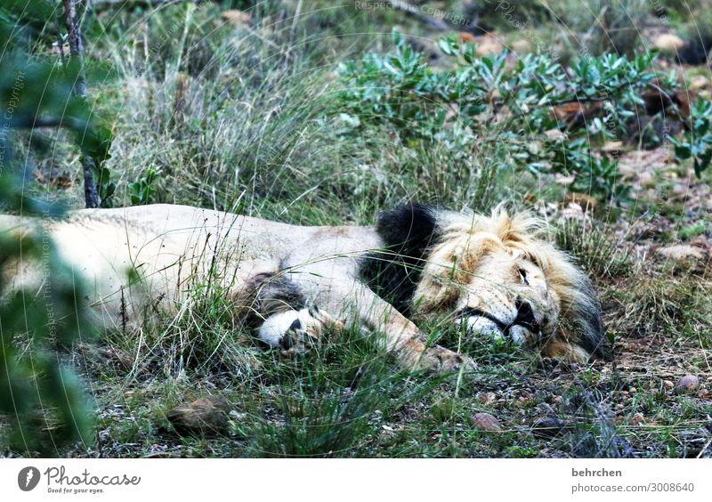 montagmorgäääähn Ferien & Urlaub & Reisen Tourismus Ausflug Abenteuer Ferne Freiheit Safari Wildtier Tiergesicht Fell Löwe 1 beobachten Erholung Fressen