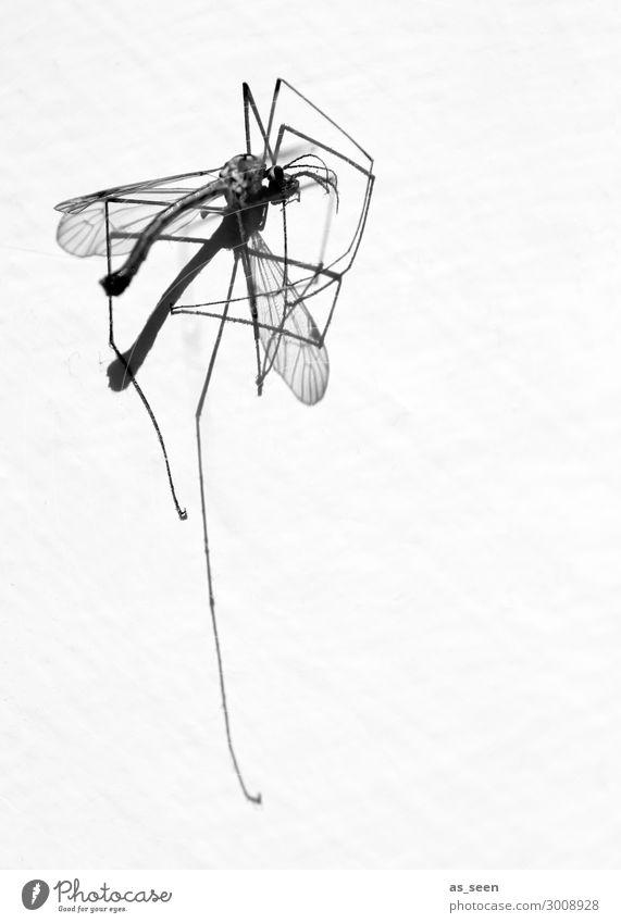 Schnake Umwelt Natur Tier Sommer Totes Tier Stechmücke 1 liegen ästhetisch authentisch dünn Ekel Spitze schwarz weiß Tod Aggression Gewalt Umweltverschmutzung
