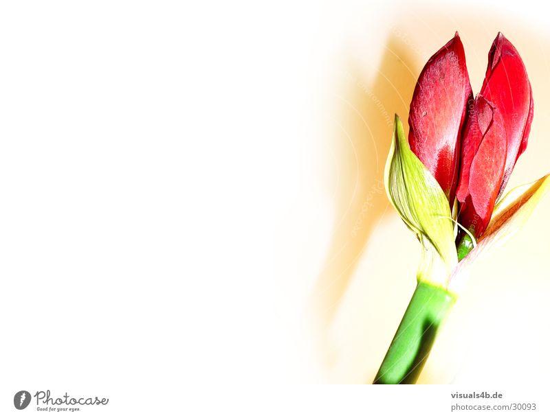 Amaryllis Natur Pflanze grün schön weiß Blume rot Blatt Winter Blüte Liebe Gefühle Frühling Wachstum Dekoration & Verzierung ästhetisch