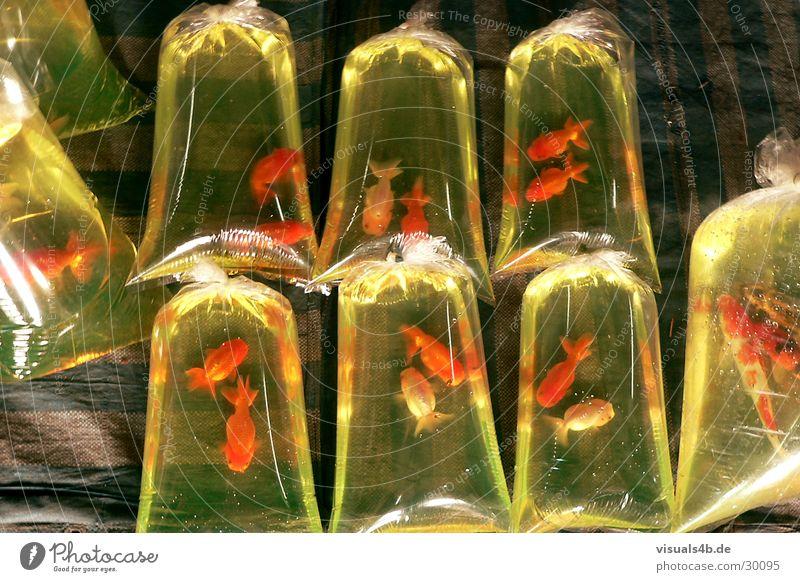 Goldfisch a la Bangkok Wasser grün rot Farbe Glück orange Lebensmittel Tierpaar Erfolg Ernährung paarweise Fisch Bodenbelag Asien Markt gefangen