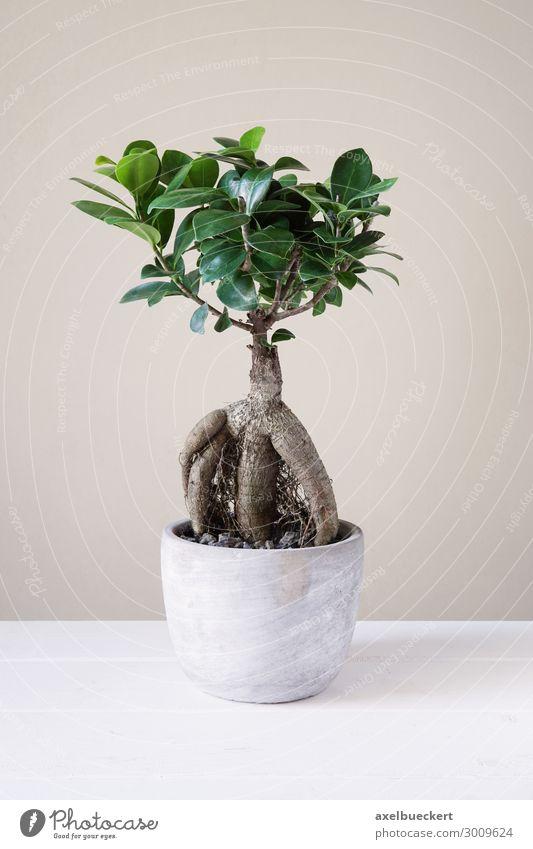 Ficus Ginseng Bonsai Freizeit & Hobby Pflanze Baum Topfpflanze klein Zimmerpflanze Blumentopf Wurzel Feige ginseng Feigenbaum luftwurzel minimalistisch Miniatur