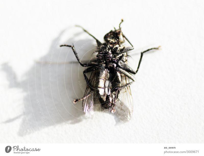 Post mortem Tier Totes Tier Fliege Flügel Insekt 1 liegen alt authentisch dreckig Ekel gruselig klein nah grau schwarz Tod Senior bizarr Natur Umwelt
