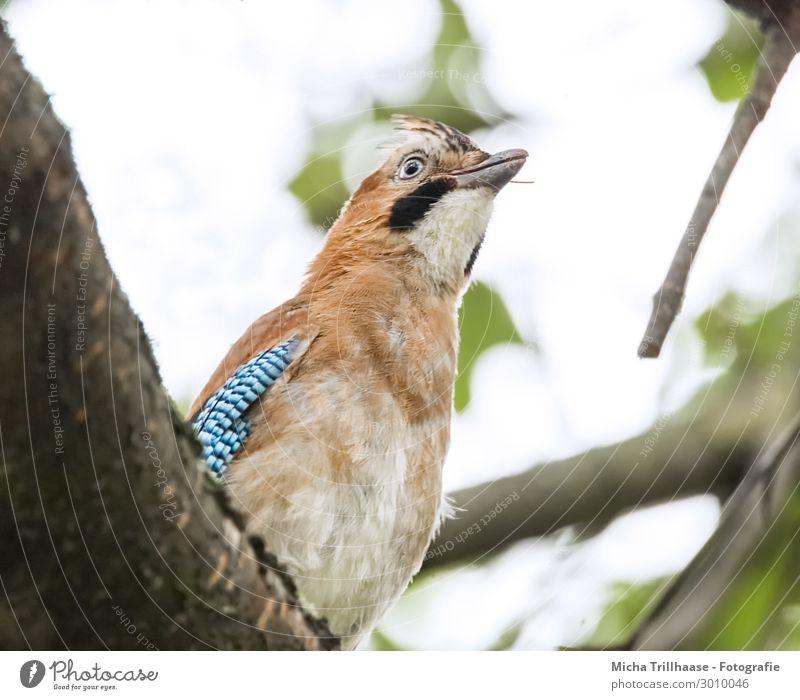 Eichelhäher beobachtet die Umgebung Natur Tier Himmel Sonnenlicht Baum Blatt Zweige u. Äste Wildtier Vogel Tiergesicht Flügel Kopf Schnabel Auge Feder gefiedert