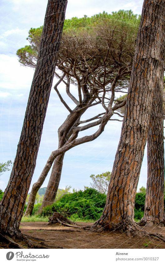 luftig | im Pinienwald Himmel Natur Sommer blau grün Baum Wald außergewöhnlich braun Wachstum Schönes Wetter groß einzigartig hoch Wandel & Veränderung Neigung