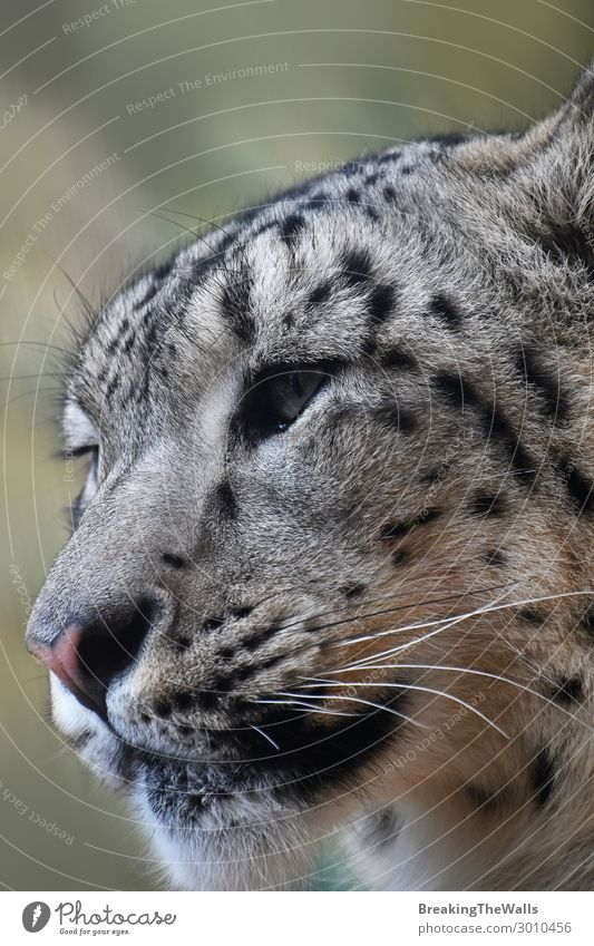 Nahaufnahme des Porträts eines Schneeleoparden, der wegblickt. Natur Tier Wildtier Katze Tiergesicht Zoo 1 wild Raubkatze Artenschutz niedlich Kopf Schnauze