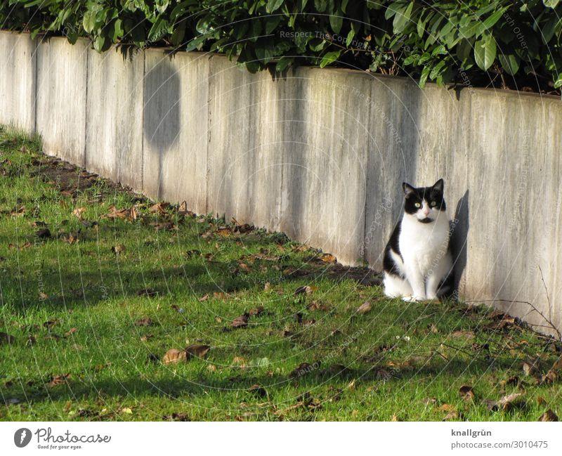 Stadtkatze Pflanze Gras Sträucher Grünpflanze Stadtrand Mauer Wand Tier Haustier Katze 1 Kommunizieren Blick sitzen grau grün schwarz weiß Gefühle Tierliebe