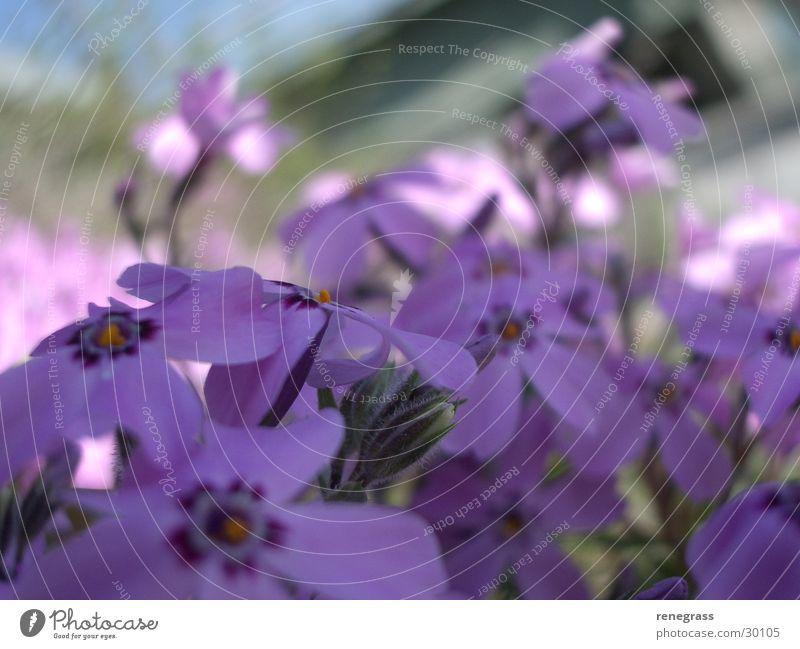 Erste Frühlingspirsch Blume violett