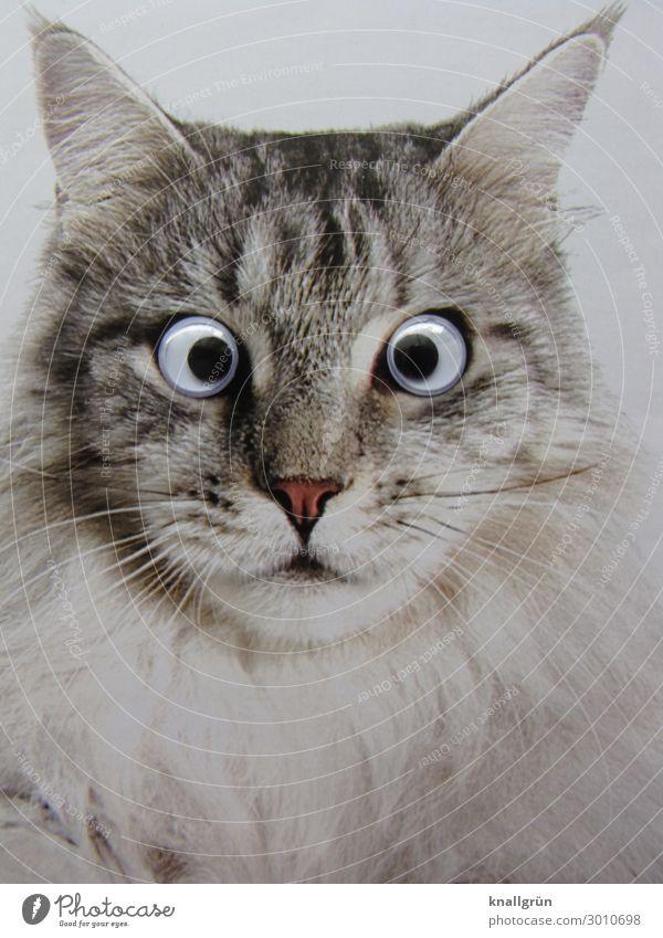starrer Blick Tier Haustier Katze 1 Kinderaugen Kommunizieren grau schwarz weiß Gefühle Überraschung Starrer Blick Tigerfellmuster Farbfoto Studioaufnahme