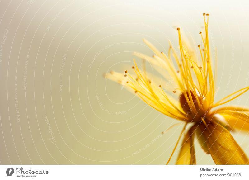 Gelbe Blumen elegant schön Wellness Leben harmonisch Zufriedenheit Erholung Meditation Spa Tapete Feste & Feiern Natur Pflanze Sommer Blüte Johanniskraut