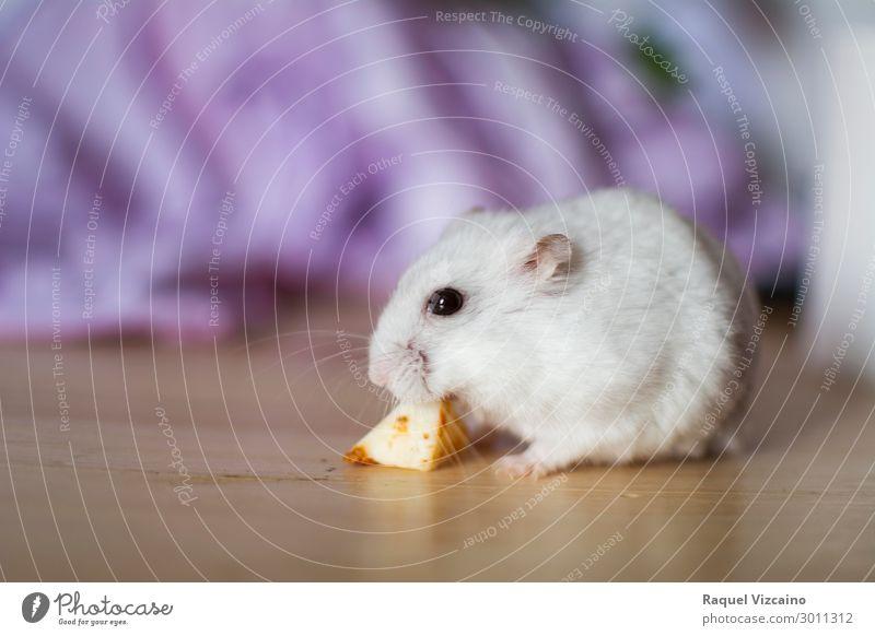 Weißer Hamster isst Käse Essen Zähne Tier Haustier 1 Diät weiß Nagetiere Russisch Lebensmittel Auge Futter seltsam Säugetier Farbfoto Innenaufnahme