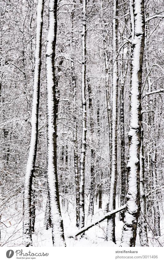 Verschneite Baumstämme im winterlichen Wald Umwelt Natur Landschaft Pflanze Urelemente Wasser Winter Klima Klimawandel Schnee Baumstamm Holz frieren dunkel kalt
