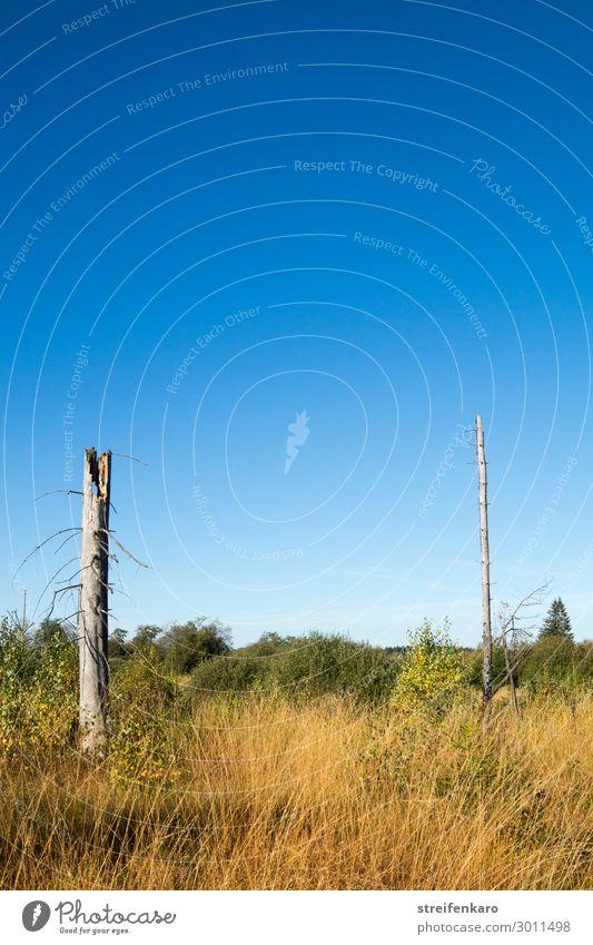 Übersichtlich wandern Umwelt Natur Landschaft Pflanze Wolkenloser Himmel Sommer Schönes Wetter Baum Gras Sträucher Moor Sumpf Hohes Venn Hochmoor