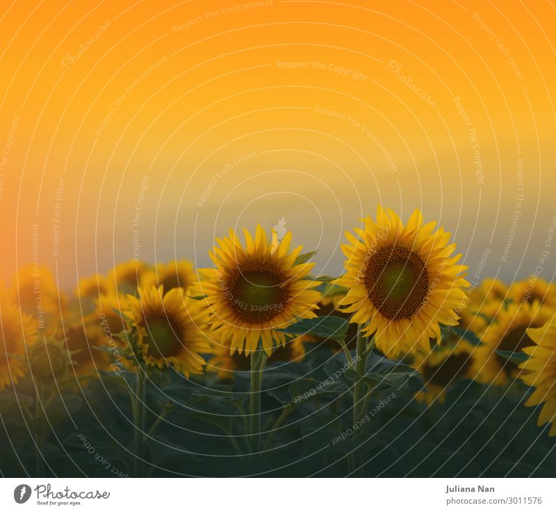 Himmel Ferien & Urlaub & Reisen Natur Sommer Pflanze Landschaft Sonne Blume Lifestyle gelb Umwelt natürlich Wiese Feste & Feiern Kunst außergewöhnlich