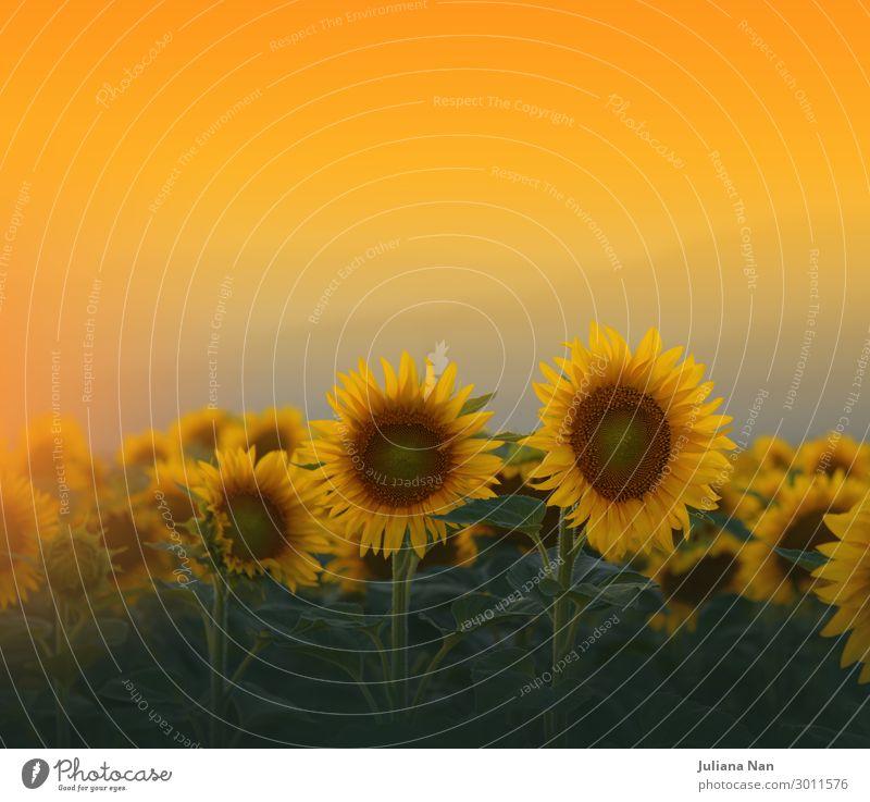 Sonnenblumenfeld bei Sonnenuntergang, Naturhintergrund Lifestyle Reichtum Design exotisch Ferien & Urlaub & Reisen Sommer Kunst Kunstwerk Umwelt Landschaft