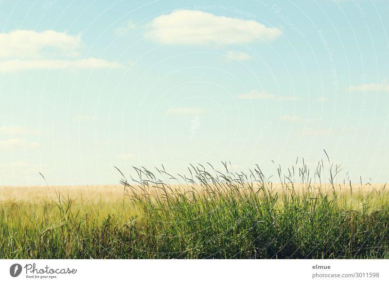 am Feldrand Umwelt Natur Pflanze Himmel Wolken Sommer Schönes Wetter Gras Getreidefeld Wiese blau gelb grün Gelassenheit ruhig Sehnsucht Heimweh Fernweh