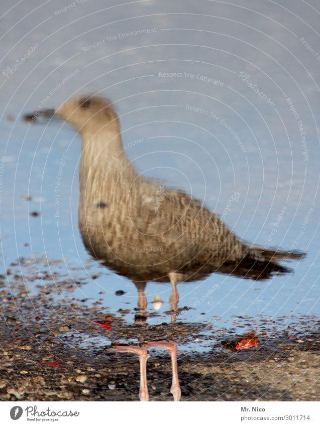möwenpick Küste Strand Nordsee Vogel 1 Tier braun grau Möwe Spiegelbild Wasser Reflexion & Spiegelung See Meer Beine stehen beobachten Schnabel Wildtier