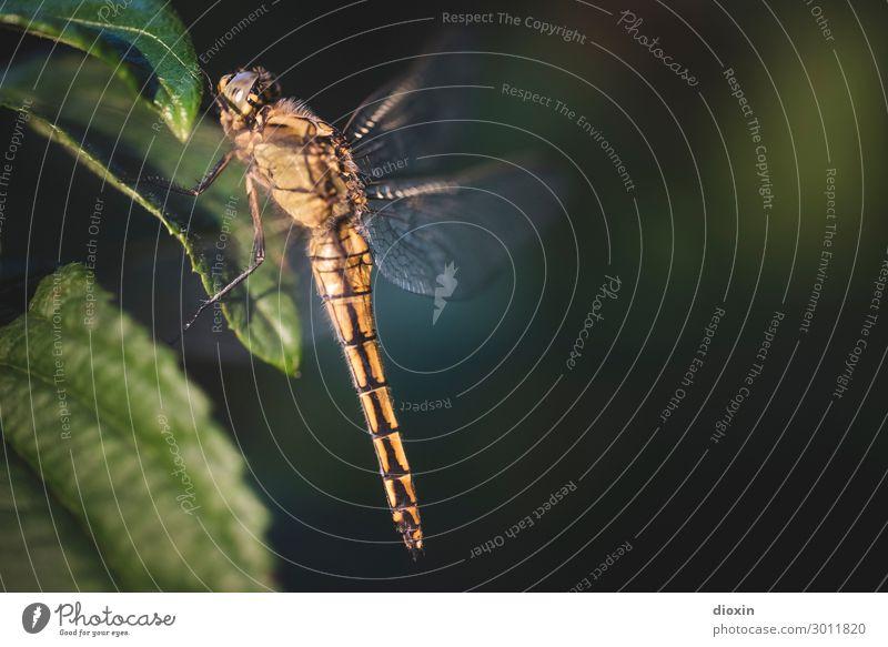 Abendlicher Besucher Umwelt Natur Pflanze Tier Wildtier Libelle Insekt 1 sitzen warten klein filigran Farbfoto Außenaufnahme Nahaufnahme Makroaufnahme
