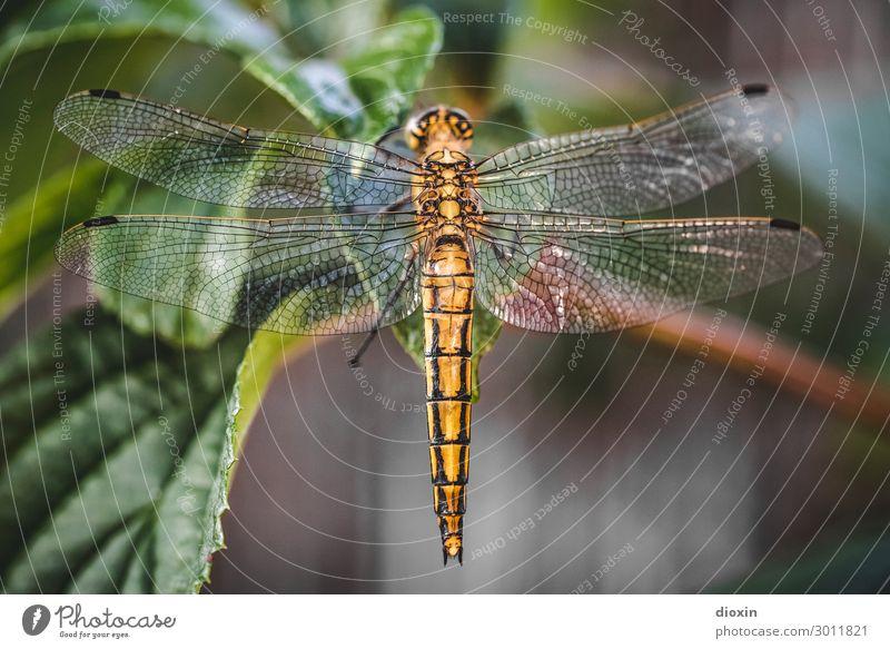 Abendlicher Besucher [2] Umwelt Natur Tier Pflanze Blatt Wildtier Flügel Libelle Libellenflügel Insekt 1 sitzen glänzend klein natürlich filigran Farbfoto