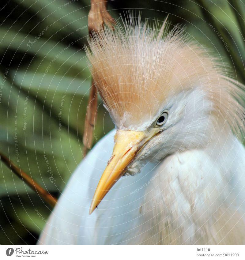 Kuhreiher Natur Tier Sommer Park braun gelb grau grün schwarz weiß Reiher Vogel Schnabel Blick in die Kamera Zoo Feder Kopfschmuck rotbraun Wasser mittelgroß