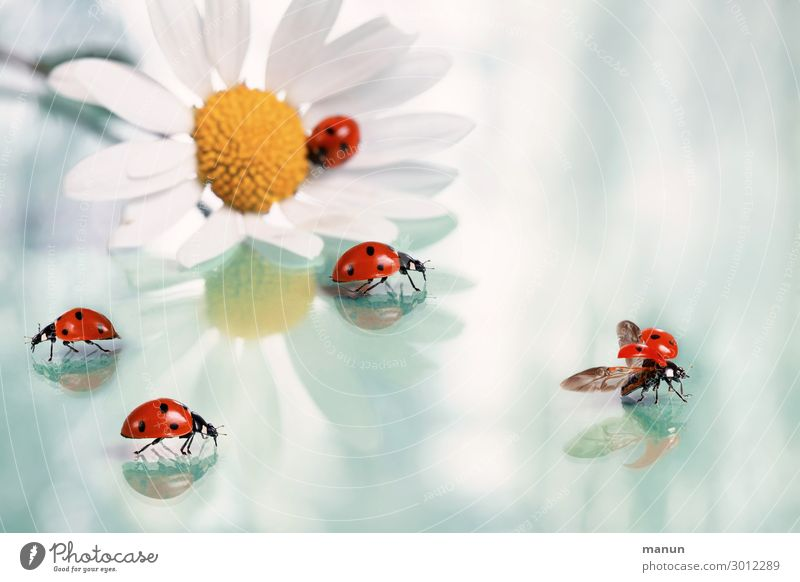 Viel Glück Feste & Feiern Hochzeit Geburtstag Taufe Glückwünsche Gratulation Blüte Margerite Käfer Marienkäfer Tiergruppe Zeichen Glücksbringer krabbeln