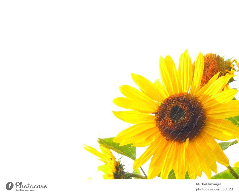 Sonnenblumen Blume gelb Freisteller Schönes Wetter grell Weißabgleich