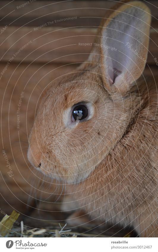 ertappt Ostern Tier Fell Haustier Nutztier Tiergesicht 1 beobachten Blick warten Fröhlichkeit kuschlig niedlich braun Tierliebe Neugier Schüchternheit