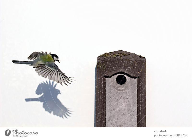Kohlmeise fliegt zum Nistkasten Natur weiß Tier Tierjunges Essen Vogel fliegen Stimmung Wohnung ästhetisch authentisch Flügel Jagd Landen Schnabel Fressen