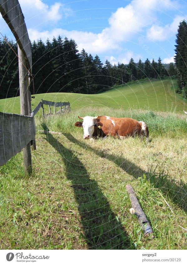 schnurrende Kuh Natur Himmel ruhig Wolken Wald Wiese Tanne Landwirtschaft Zaun Pfosten