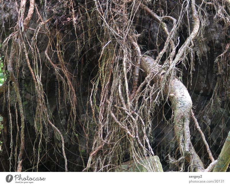 Wurzel Baum braun mystisch Wald Detailaufnahme