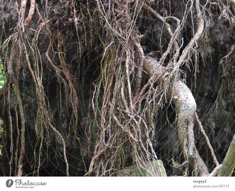 Wurzel Baum Wald braun mystisch