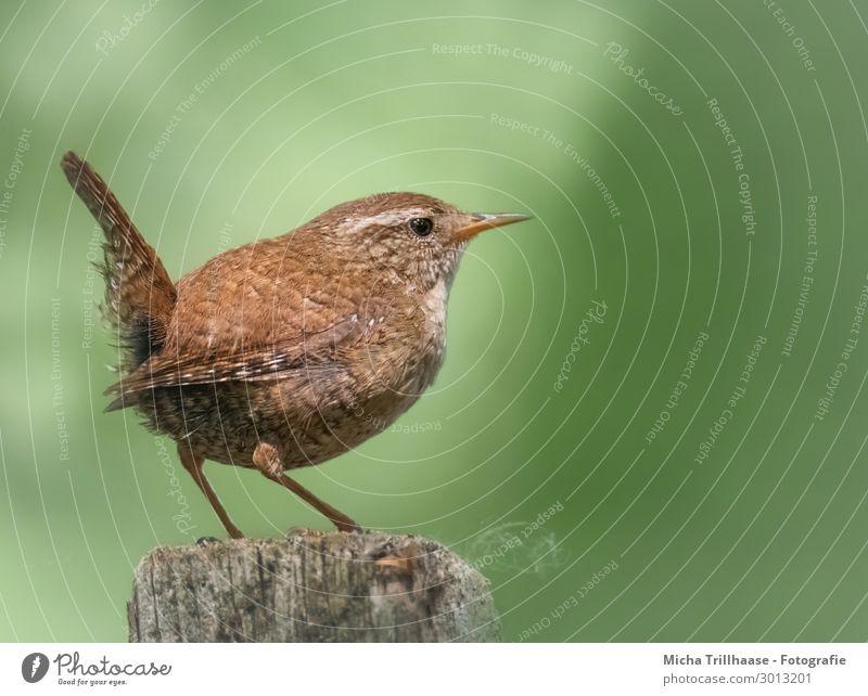 Zaunkönig auf einem Holzpfahl Natur Tier Sonnenlicht Schönes Wetter Wildtier Vogel Tiergesicht Flügel Krallen Troglodytes troglodytes Kopf Schnabel Auge Feder