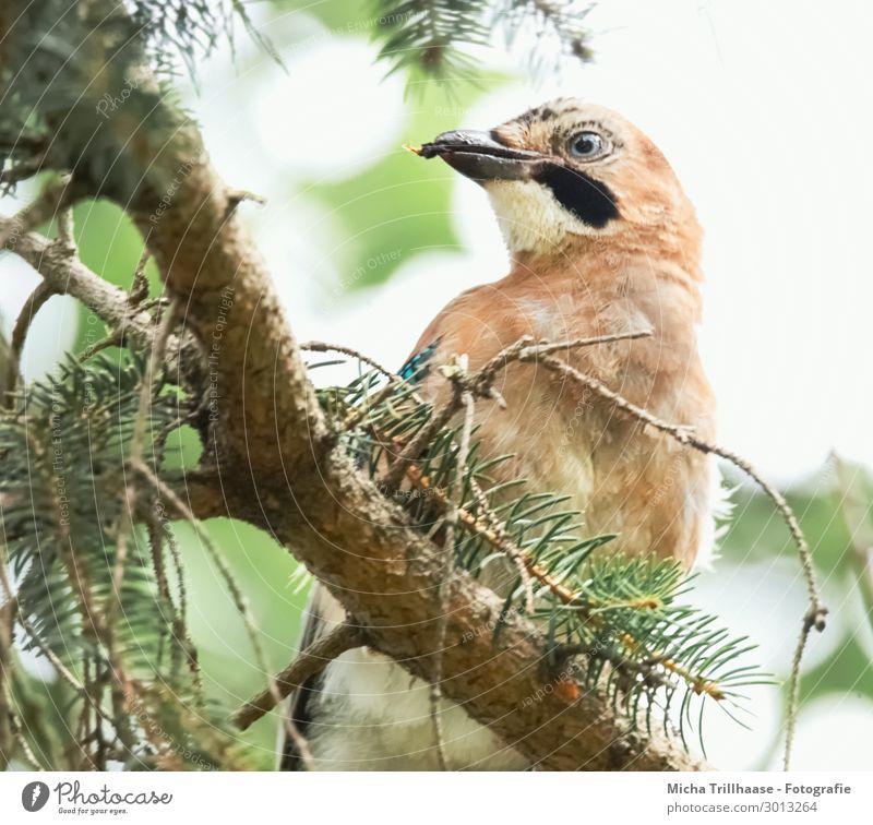 Eichelhäher im Nadelbaum Natur Pflanze Tier Himmel Sonnenlicht Schönes Wetter Baum Wildtier Vogel Tiergesicht Flügel Kopf Schnabel Auge Feder gefiedert 1