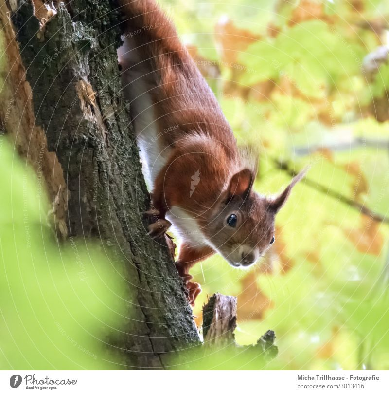 Neugieriges Eichhörnchen am Baumstamm Natur Pflanze Tier Sonnenlicht Schönes Wetter Blatt Wildtier Tiergesicht Fell Krallen Kopf Auge Ohr Nase 1 beobachten