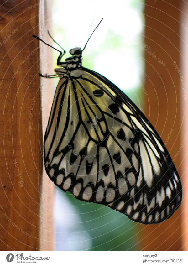 My Butterfly Schmetterling Tier Insekt Holz Fühler vertikal Farbe Nahaufnahme facetten schwarz-weiss-gelb Pfosten Natur Punkt Auge