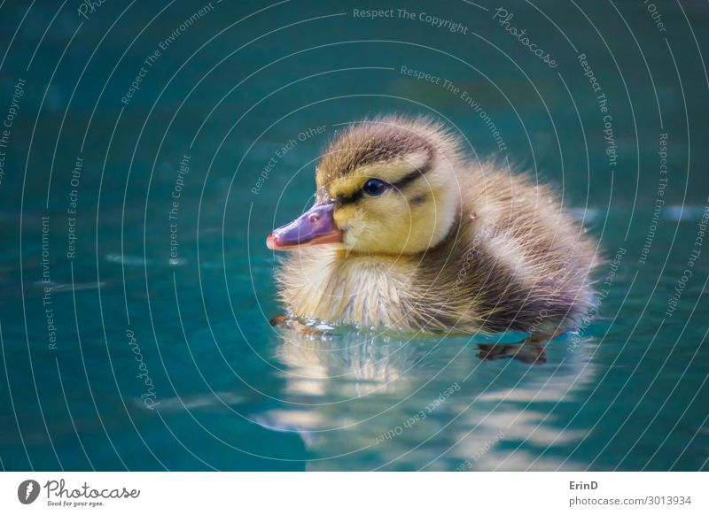Nahaufnahme Baby Mallard Entlein schwimmt in blauem Pool Leben Schwimmbad Sommer Mutter Erwachsene Natur Vogel Tropfen Coolness frisch einzigartig klein nass