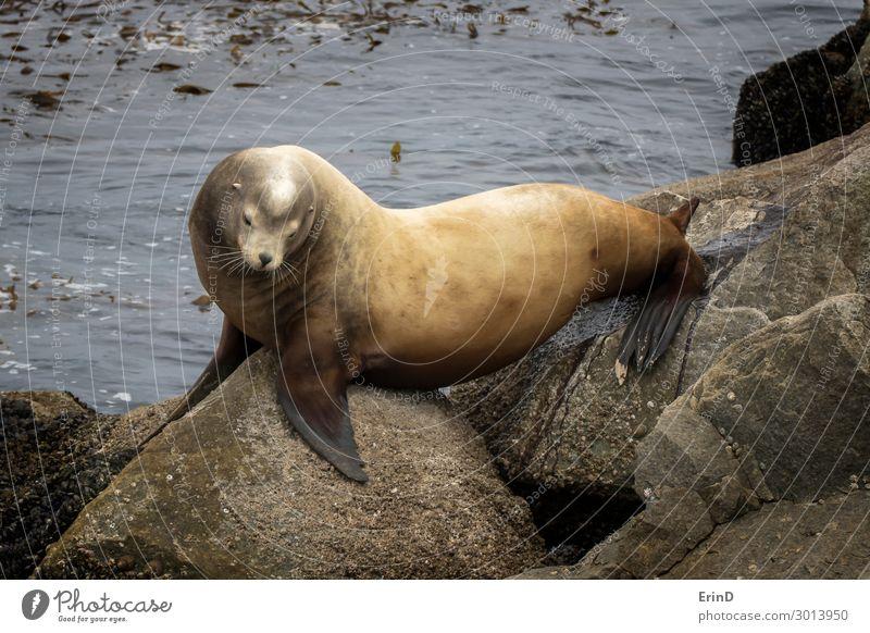 Großer männlicher Seelöwe beim Urinieren auf Felsen in Kalifornien Seelandschaft Gesicht Meer Mann Erwachsene Familie & Verwandtschaft Menschengruppe Umwelt