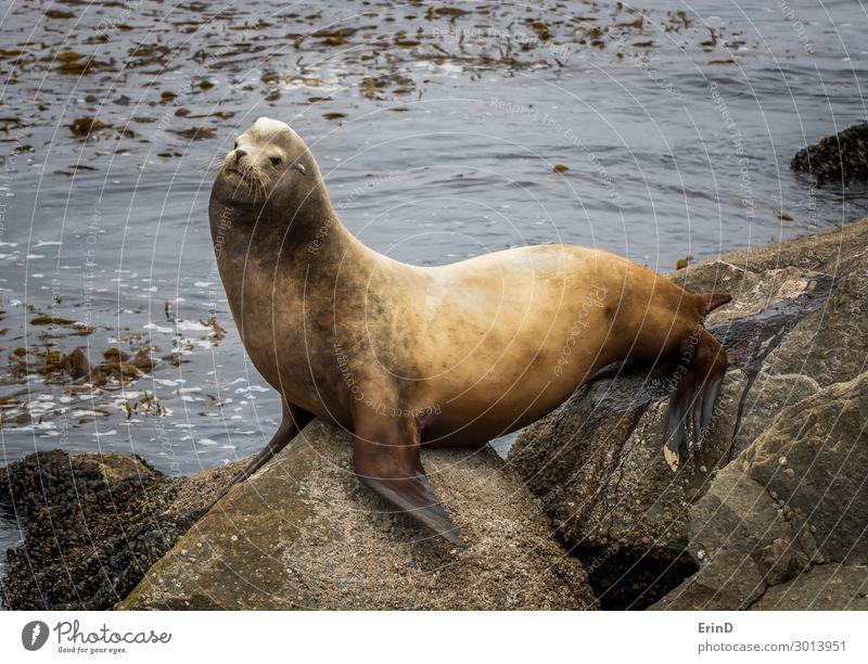Großer männlicher Seelöwe uriniert auf Felsen mit Meereshintergrund Gesicht Mann Erwachsene Familie & Verwandtschaft Menschengruppe Umwelt Natur Tier Pelzmantel