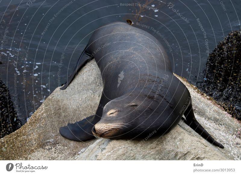 Schwarzer männlicher Seelöwe schläft auf Felsen aus nächster Nähe in der Meereslandschaft. Gesicht Mann Erwachsene Menschengruppe Umwelt Natur Tier Küste