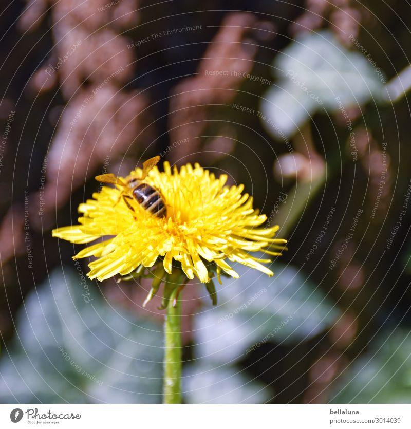 Der Zahn des Löwen Umwelt Natur Pflanze Tier Sonne Sonnenlicht Frühling Sommer Klima Schönes Wetter Blume Blüte Wildpflanze Garten Park Wiese fliegen Fressen