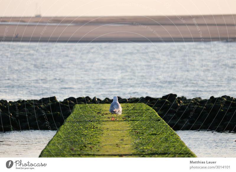 Möwe geht auf einer Buhne auf Borkum aufs Meer zu Ferien & Urlaub & Reisen Tourismus Sommer Sommerurlaub Strand Insel Natur Landschaft Wasser Himmel