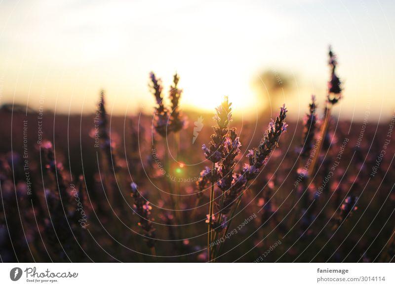 aux champs de lavande Umwelt Natur Schönes Wetter Pflanze Feld Klima stagnierend Lavendelfeld Provence Valensole Südfrankreich Frankreich Kultur Duft bezaubernd